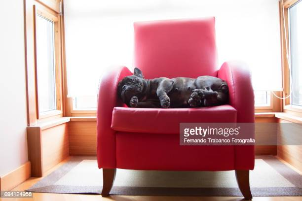 Dog rests in a red armchair