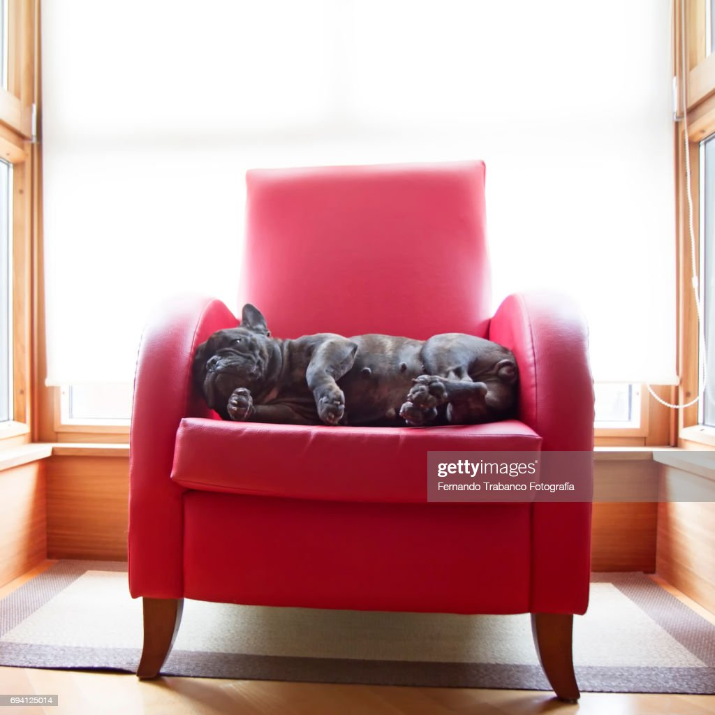 Dog rests in a red armchair : Stock Photo