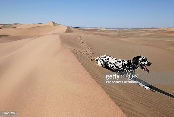 Dog rests in sand dunes