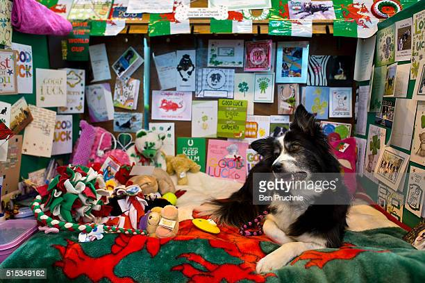 A dog rests on it's bench on the final day of Crufts 2016 on March 13 2016 in Birmingham England First held in 1891 Crufts is said to be the largest...