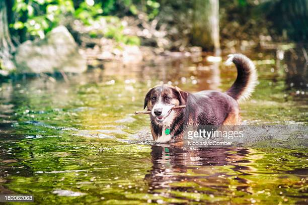 Dog retrieving a branch in river