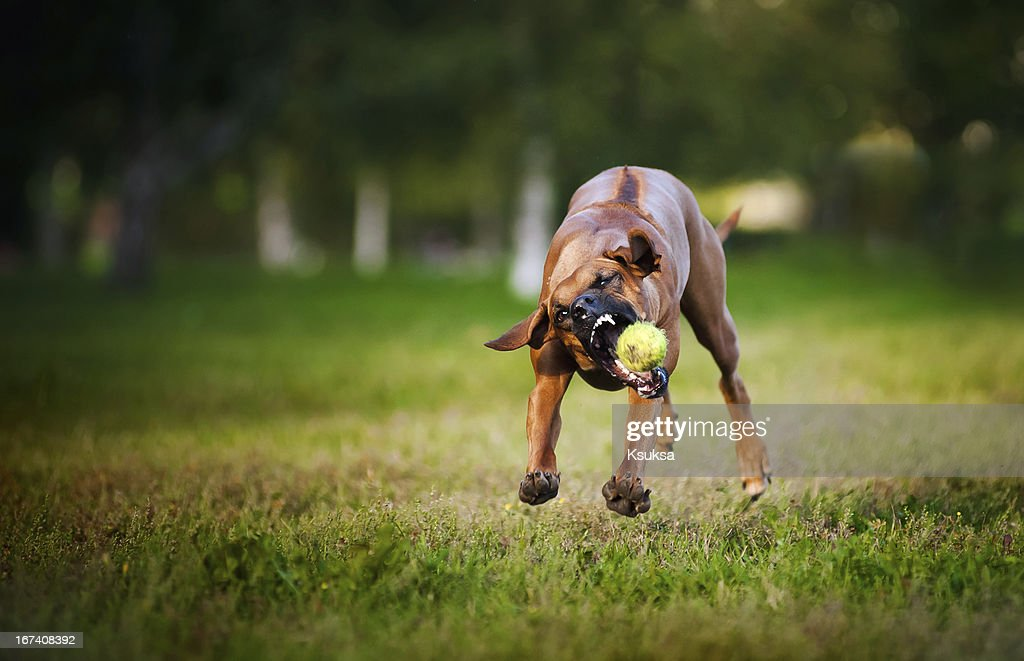 dog ridgeback playing with ball : Stock Photo