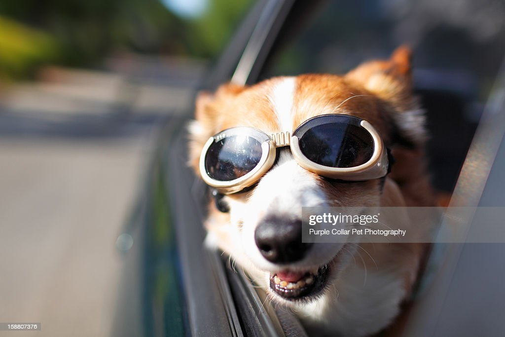 Dog Riding in Car : Stock Photo