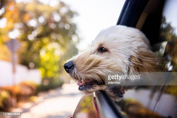 dog riding in car with window open - adamkaz stock pictures, royalty-free photos & images