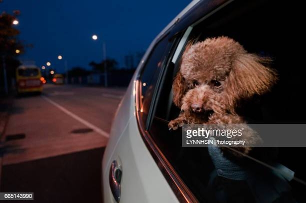 dog riding in cars with head out the window - lynnhsin stock pictures, royalty-free photos & images