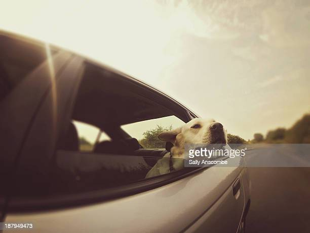 Dog riding in the back of the car