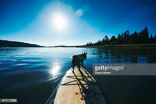 dog riding on paddle board. - big bear lake stock pictures, royalty-free photos & images
