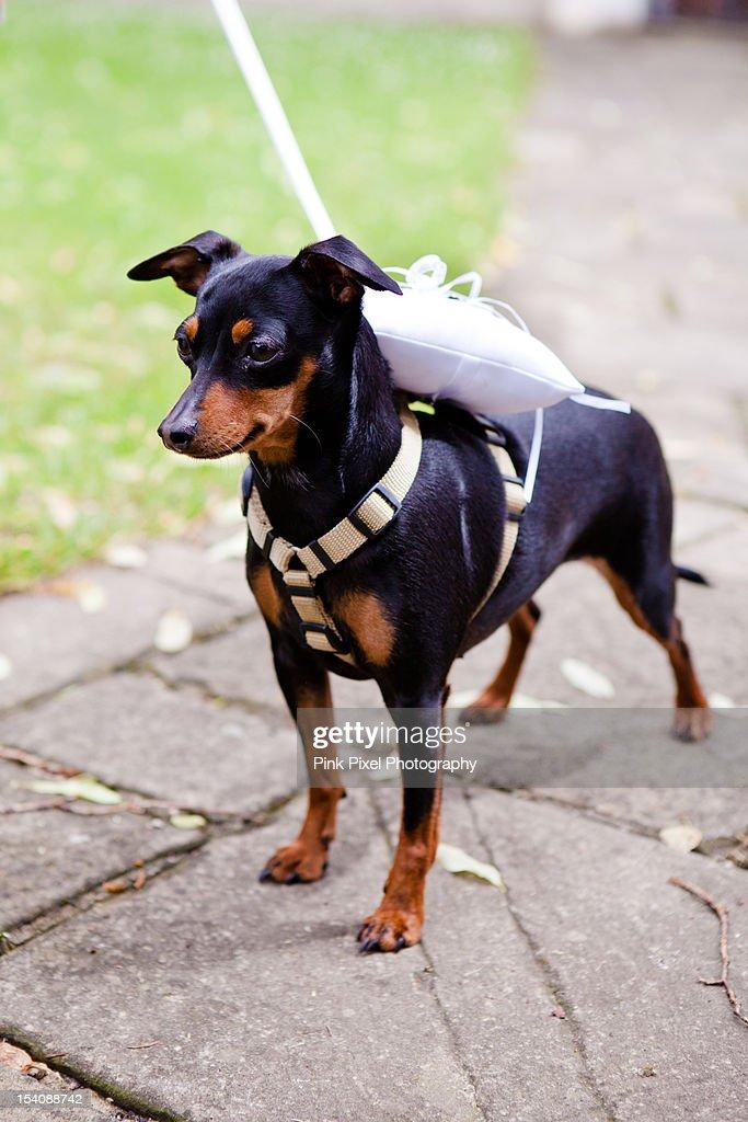 Dog ring bearer : Stock-Foto