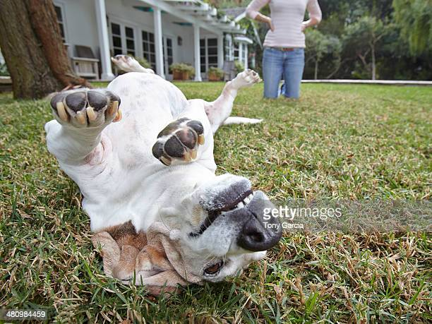dog rolling over on grass, woman in background - rolling stock pictures, royalty-free photos & images
