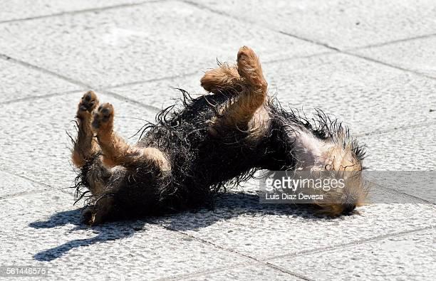 Dog rolls around in the sidewalk
