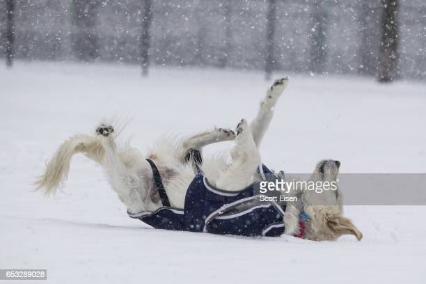 A dog rolls in the snow on the Boston Common as Winter Storm Stella bears down on March 14 2017 in Boston Massachussets