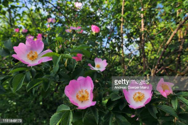 dog rose blossom - dog rose stock photos and pictures