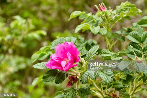dog rose flower blossoming - dog rose stock photos and pictures