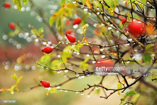 Dog rose hips with rain drops