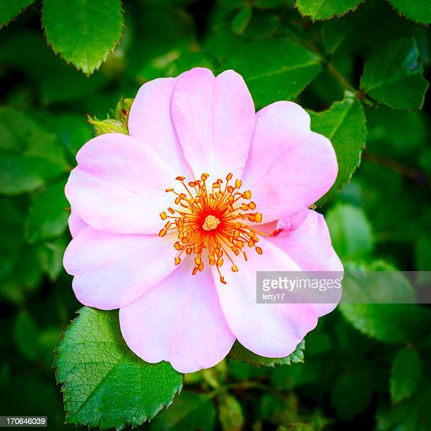 dog rose - dog rose stock photos and pictures