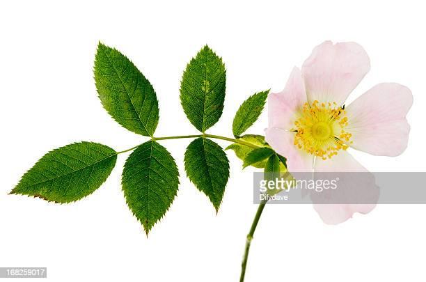 Dog Rose Rosa Canina And Foliage