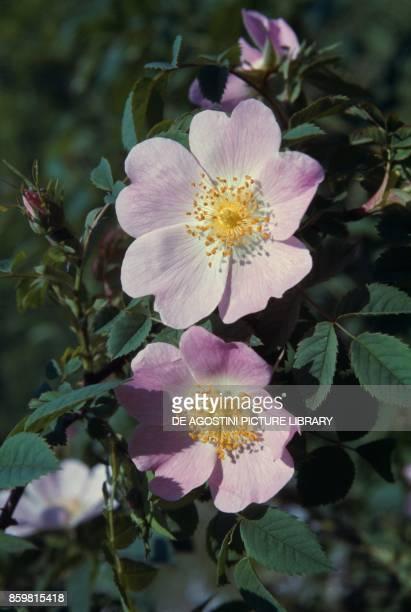 Dog rose Rosaceae