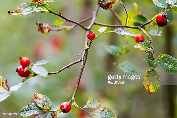Dog rose (Sweet Briar Rose) rosehips (buds)