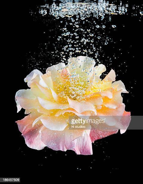 Dog rose under water