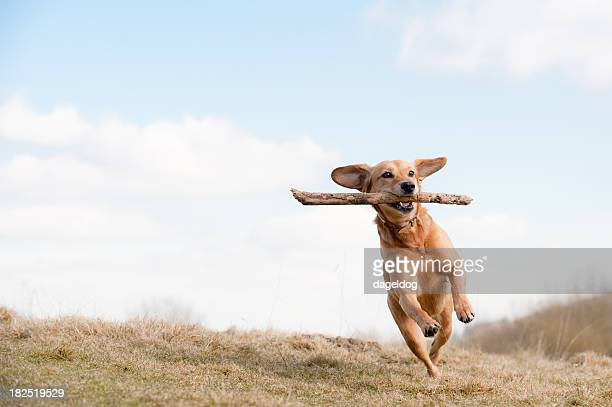 Dog running across grass field with branch in mouth