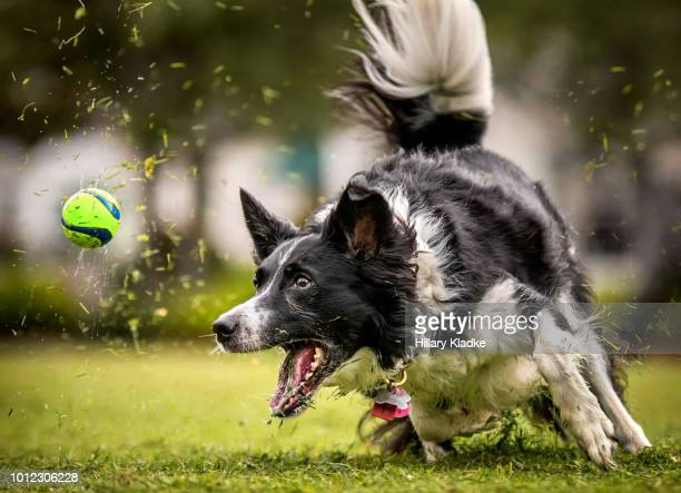 dog running after ball in grass - catching stock pictures, royalty-free photos & images
