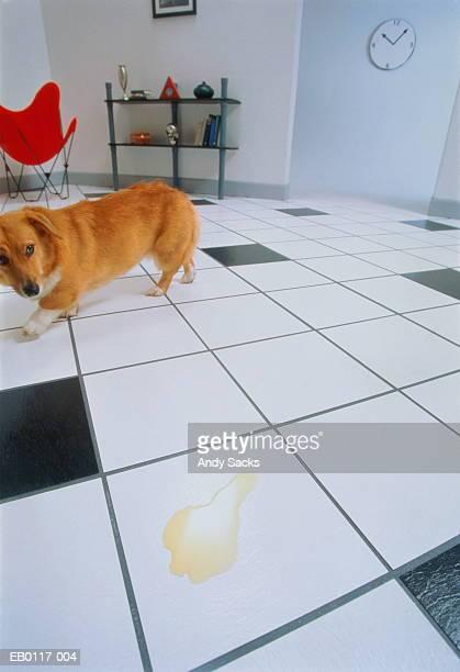 Dog running away from urine on tile floor