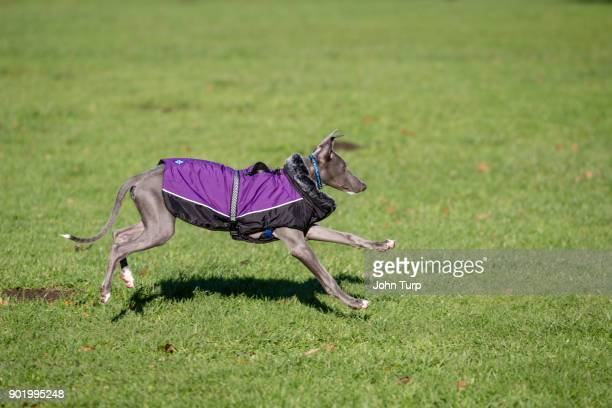 whippet running across camera point from