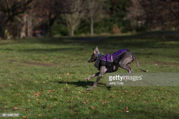 whippet running away from camera point