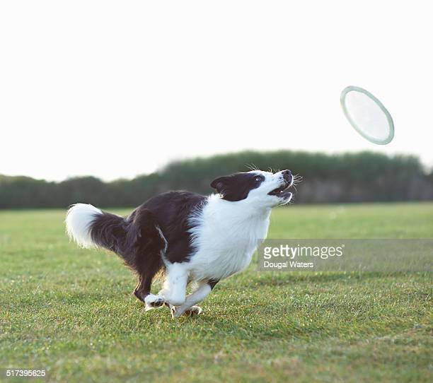 dog running for frisbee in field. - border collie fotografías e imágenes de stock