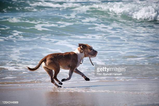 dog running free on the beach - finn bjurvoll stock pictures, royalty-free photos & images
