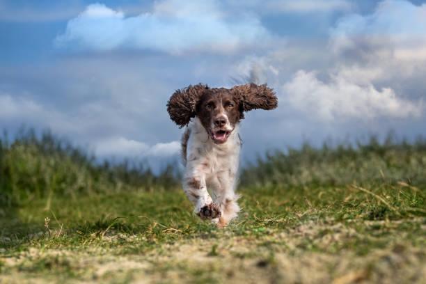 Dog running in a field, Hanstholm, Denmark