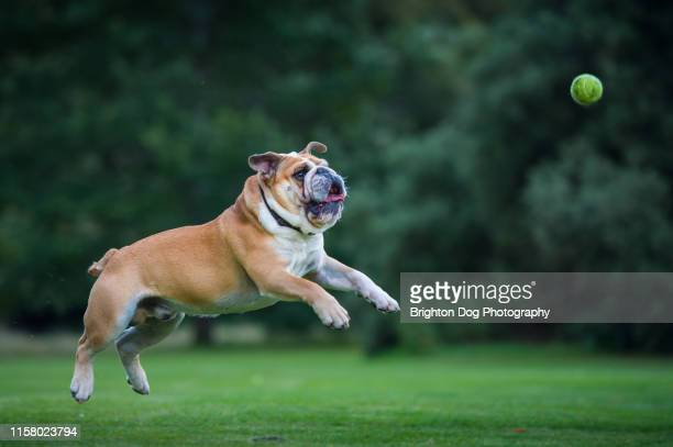 dog running in a field - mid air stock pictures, royalty-free photos & images