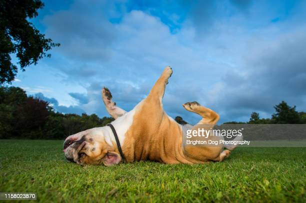 dog running in a field - english bulldog stock pictures, royalty-free photos & images