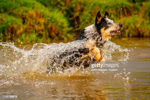 dog running in lake - australian cattle dog stock pictures, royalty-free photos & images