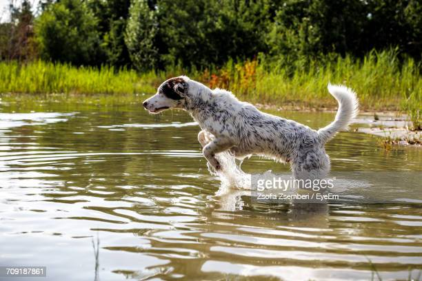 Dog Running In Lake