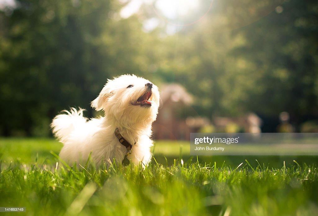 Dog running in Maltese on grasses : Stock Photo