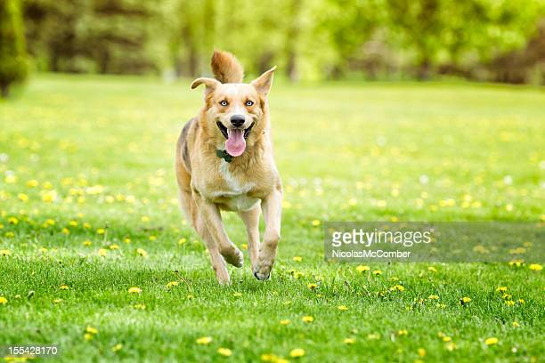 Dog running in Spring meadow