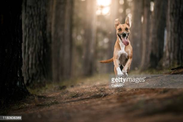 dog running in the forest - mixed breed dog stock pictures, royalty-free photos & images