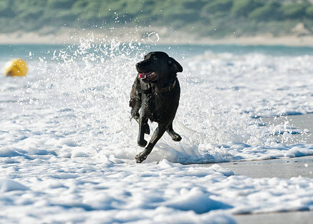 A Dog Running In The Tide Along A Beach To Fetch A Ball Wall Art