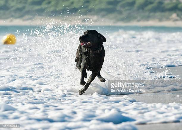 A Dog Running In The Tide Along A Beach To Fetch A Ball
