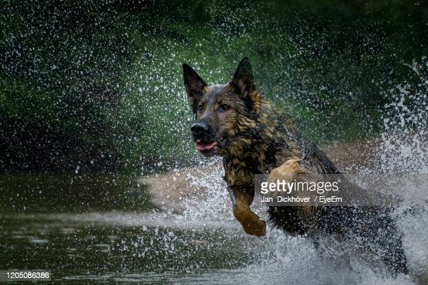 dog running in water - german shepherd stock pictures, royalty-free photos & images