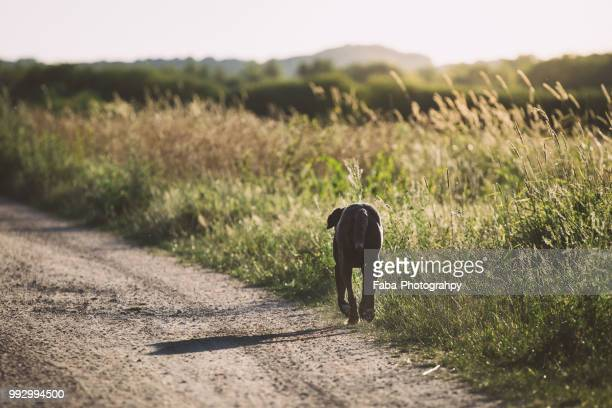 dog running into sunset - black labrador stock pictures, royalty-free photos & images