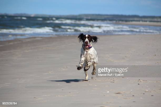 dog running on beach - springer spaniel stock photos and pictures