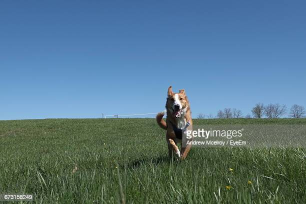 Dog Running On Field Against Clear Blue Sky