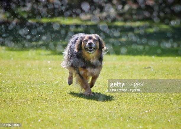 dog running on grass - esher stock pictures, royalty-free photos & images