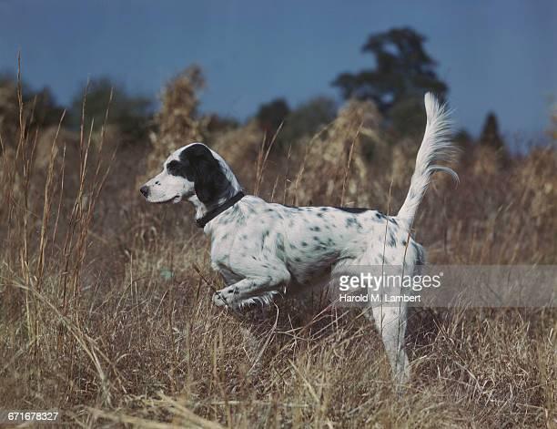 dog running on grass  - mamífero con garras fotografías e imágenes de stock