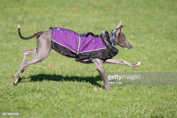 whippet running grass dressed purple jacket