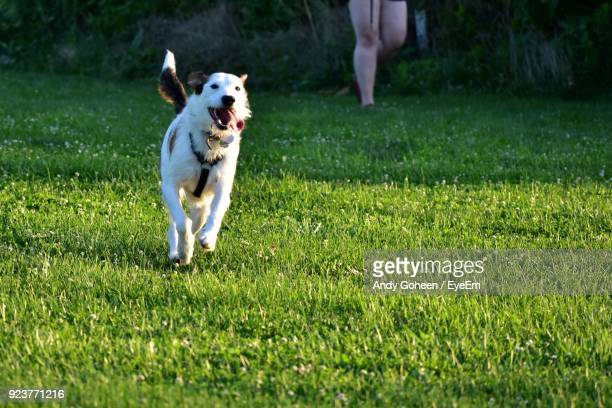 dog running on grass - cavalier king charles spaniel photos et images de collection