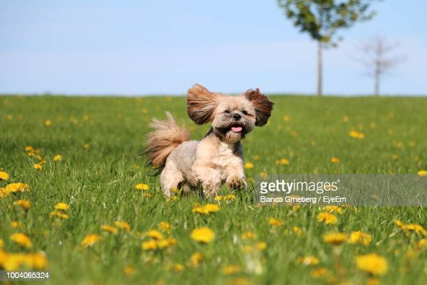 dog running on grassy field against sky - lhasa apso stock photos and pictures