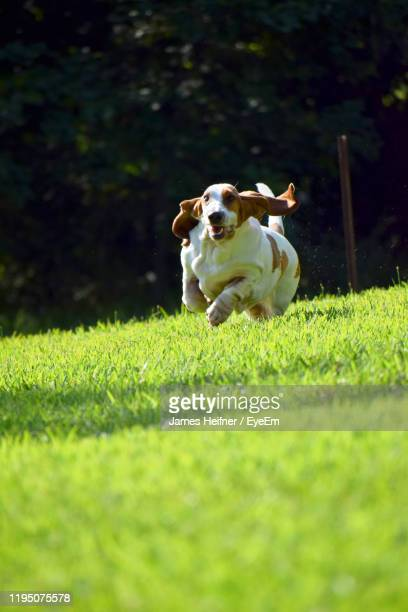 dog running on grassy field - one animal stock pictures, royalty-free photos & images